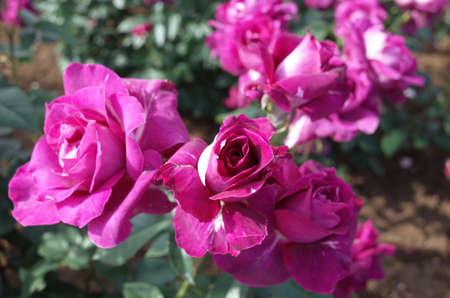 Light Purple Flower of Rose 'Intrigue' in Full Bloom