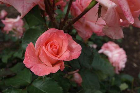 Light Pink Flower of Rose 'Cherish' in Full Bloom Stock Photo