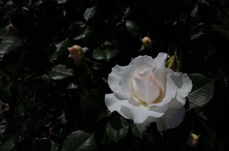 White Flower of Rose 'Margaret Merril' in Full Bloom