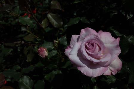 Light Purple Flower of Rose 'Lilac Beauty' in Full Bloom