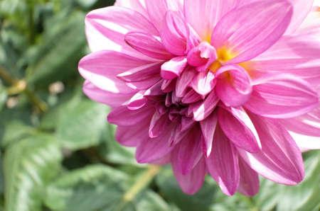 Light Pink Flower of Dahlia in Full Bloom Archivio Fotografico