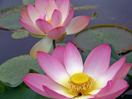 beautiful water lily pond Zdjęcie Seryjne