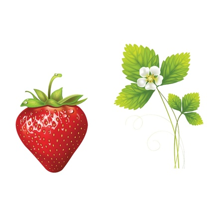 beautiful strawberries  vector illustration of a realistic Illustration