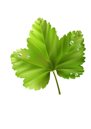 macro leaf: Currants leaf with drops on white background. Vector illustration.