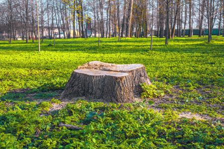 Freshly cut stump on green grass outdoors Standard-Bild