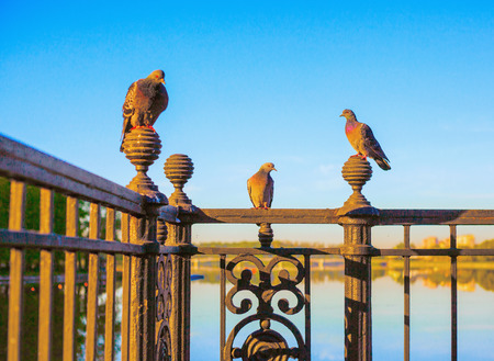 Three pigeons: the male and two females sit on a pig-iron figured lattice of a fencing against the background of the blue sky