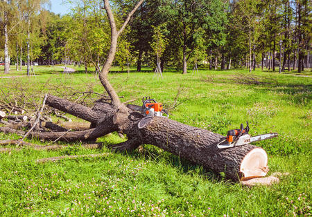 A sawn tree in the park and two chainsaws near Stockfoto