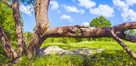 The trunk of the tree split in two under its weight, one part of it fell to the ground and lies horizontally. Summer landscape