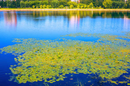 Thickets of many yellow water lilies with green leaves floating on the surface of a reservoir on a summer sunny day Banque d'images