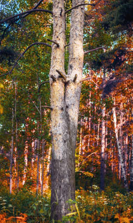 Two tree trunks in the forest grow from the same root, intertwine at the bottom and fork at the top. Symbolic bifurcation