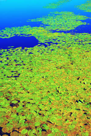 On a sunny summer day, many yellow water lilies with green leaves float on the surface of the reservoir. 版權商用圖片