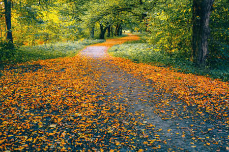Bright yellow and orange foliage on a winding road in the forest and a lonely traveler away. Beautiful autumn landscape. 版權商用圖片