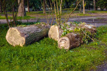 Large logs of a sawn tree lie on the green grass