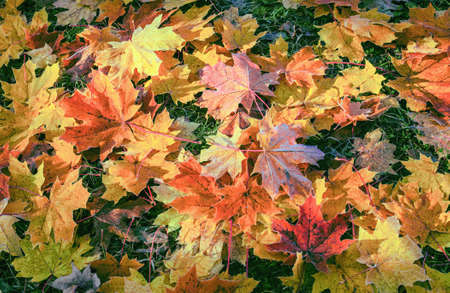 Autumn multi-colored leaves on green grass. Variety of bright colors and shades of this season of the year