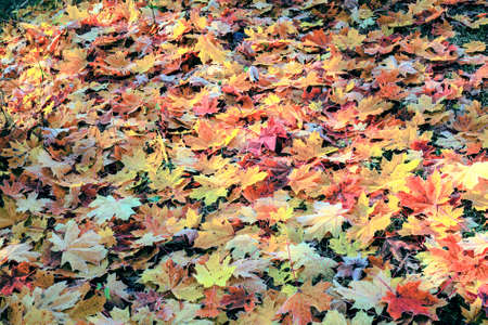 A carpet of autumn colorful leaves on the green grass. Variety of vibrant colors and shades of this season