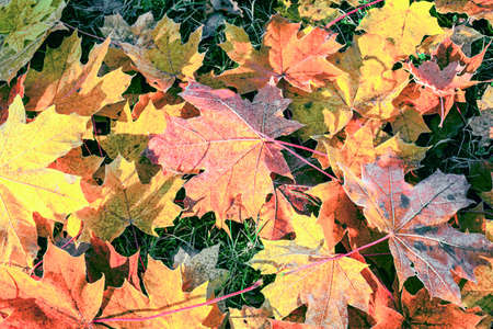 Autumn colorful leaves on green grass close-up. Variety of vibrant colors and shades of this season