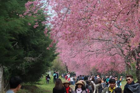 himalayan: Visit the Wild Himalayan Cherry at Chiang Mai, Thailand