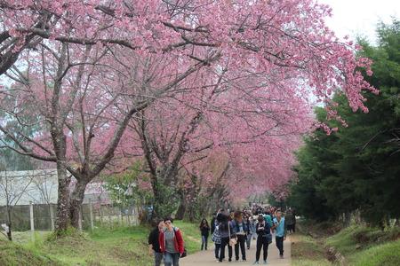 wang: Visit the Wild Himalayan Cherry at Chiang Mai, Thailand