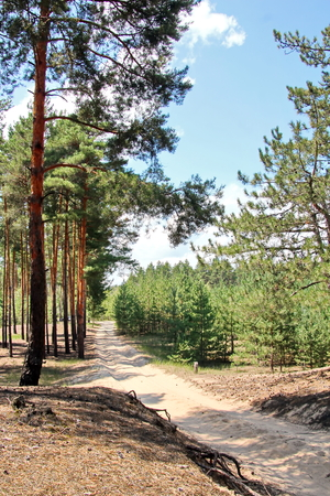 Pine forest. The nature of Ukraine.