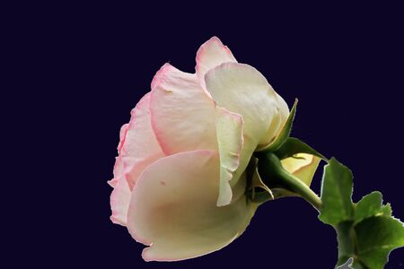 Natural roses close-up view on an isolated dark background. Banque d'images