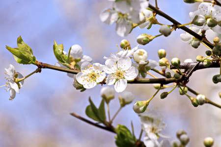 Flowering fruit trees in the spring garden. Close-up view. Odessa, Ukraine.