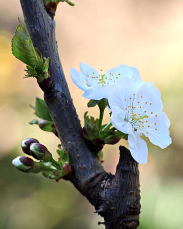 Flowering fruit trees in the spring garden. Close-up view. Odessa, Ukraine. Banque d'images