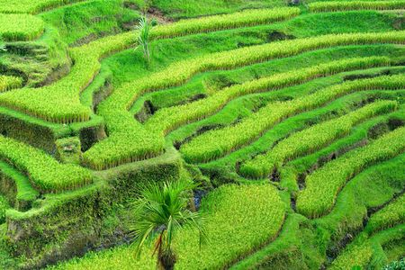 Amazing view of the Rice Terrace field, Ubud, Bali,  Indonesia. Stock Photo - 6154839