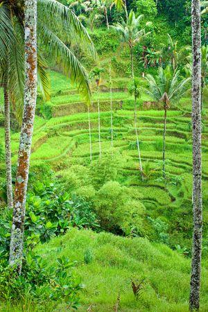 Amazing view of the Rice Terrace field, Ubud, Bali,  Indonesia. photo