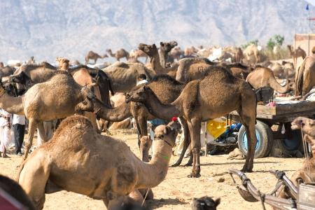 View of the Camel Fair, Pushkar, Rajasthan, India Stock Photo - 17243152
