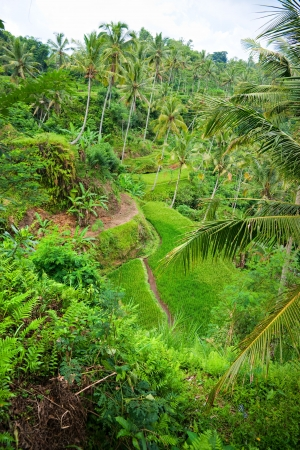 Amazing view of the Rice Terrace field, Ubud, Bali,  Indonesia Stock Photo - 17324063