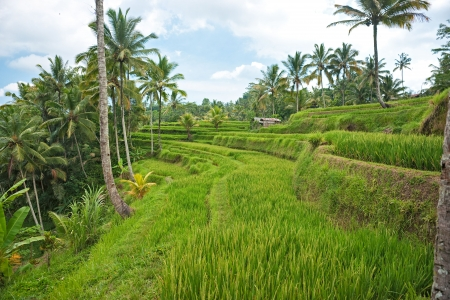Amazing view of the Rice Terrace field, Ubud, Bali,  Indonesia  photo