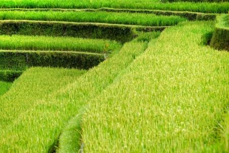 ubud: Amazing view of the Rice Terrace field, Ubud, Bali,  Indonesia  Stock Photo
