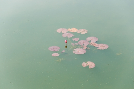 Waterlily leaf in a lake  Stock Photo - 17325166