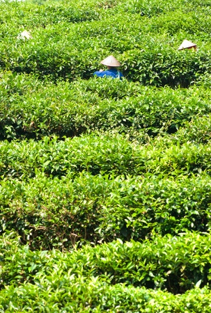 Three woman working in a tea plantation, North Vietnam. photo