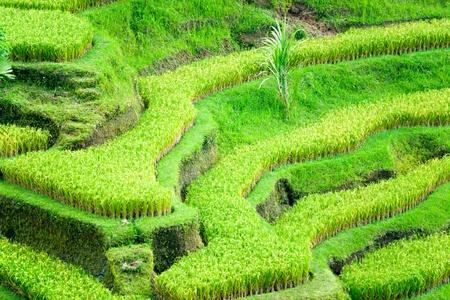 ubud: Amazing view of the Rice Terrace field, Ubud, Bali,  Indonesia. Stock Photo