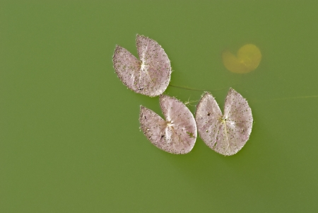 Waterlily leaf in a lake  Stock Photo - 17646956