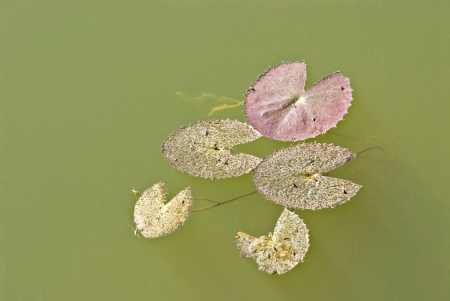 Waterlily leaf in a lake Stock Photo - 17646972