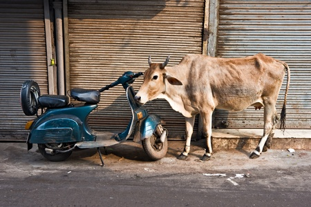 benares: A Cow and scooter, Paharganj, Old Delhi, India.