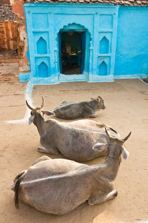 nandi: Three Cow in Orcha, Madhya Pradesh, India. Stock Photo