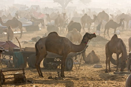 Camel Fair at sunrise, Pushkar, Rajasthan, India  photo
