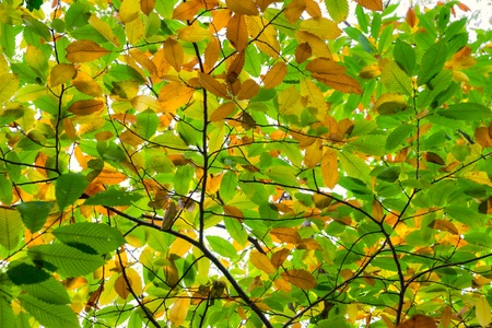 Autumnal Chestnut's Leaf on the tree Stock Photo - 9077543