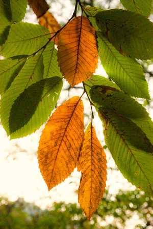 Autumnal Chestnut's Leaf on the grass Stock Photo - 9077736