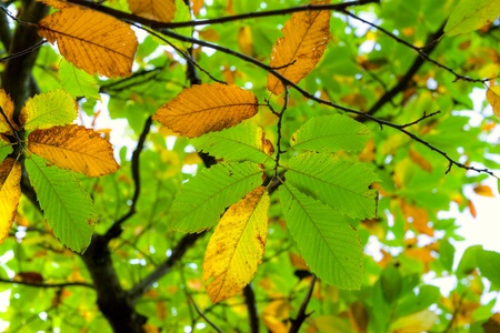Autumnal Chestnut's Leaf on the grass Stock Photo - 9077420