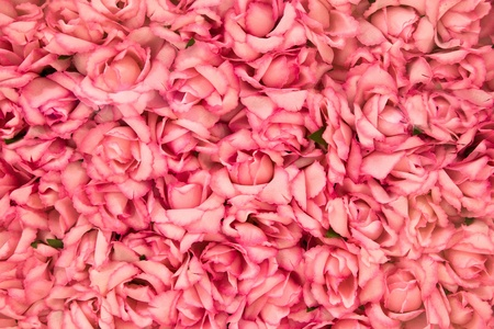 Bright pink roses Background photo