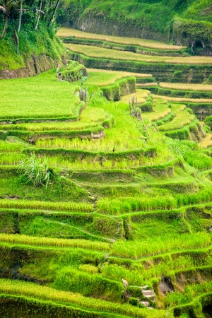 Amazing view of the Rice Terrace field, Ubud, Bali,  Indonesia. photo