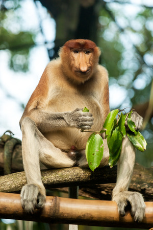 proboscis: Proboscis monkey eating green foliage Stock Photo