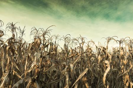 Campo di grano secco disidratazione con brutto cielo del cambiamento climatico mondiale.