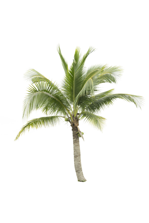 subtropical plants: Clipping path fresh coconut tree isolated on white background for used design, advertising and architecture.This tree appropriate summer and beach concept.