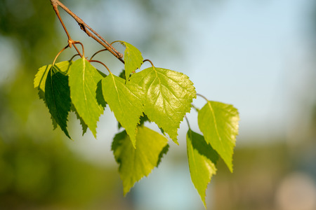 leaves of birch with green and blue blured background