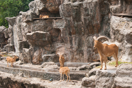 mountain goats: brown mountain goats herd rests in zoo